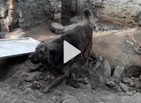 سگ نگهبان ادمگیر در شیپور-عکس کوچک