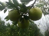 فروش باغ 3000 متری دریکنده در شیپور-عکس کوچک