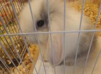 خرگوش شیطون وبازی گوش در شیپور-عکس کوچک