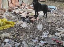 سگ ژرمن بلک نر  در شیپور-عکس کوچک