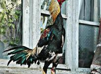 خروس لاری شامو ترک  در شیپور-عکس کوچک