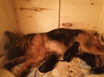 توله سگ چمپیون قهرمان جهان  در شیپور-عکس کوچک