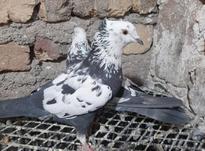 کبوترنروماده پرشی در شیپور-عکس کوچک