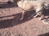 توله سگ سرابی در شیپور-عکس کوچک