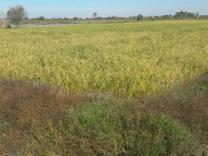 زمین کشاورزی 10000متری در آمل در شیپور