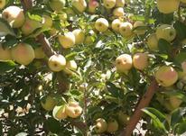 نهال درخت سیب زرد لبنانی (گلدن دلیشز) گلدانی در شیپور-عکس کوچک