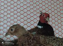 قرقاول نر جوان در شیپور-عکس کوچک
