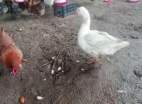 غاز مرغ ارک  در شیپور-عکس کوچک