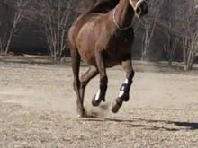 اسب مادیان در شیپور