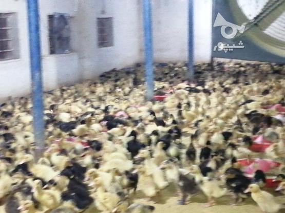 چوجه اردک 22 روزه اصیل پکنی تولید ورامین در گروه خرید و فروش ورزش فرهنگ فراغت در مازندران در شیپور-عکس3