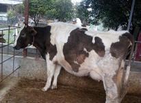 فروش گاو شیری در شیپور-عکس کوچک