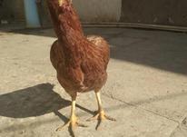 مرغ لاری سالم و سرحال در شیپور-عکس کوچک