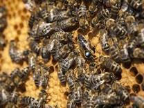 پیش فروش ملکه کارنیکا زنبور عسل در شیپور