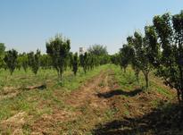 باغ گلابی و گردو 1 هکتار  در شیپور-عکس کوچک
