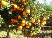 600 متر باغ پرتقال و نارنگی در شیپور-عکس کوچک