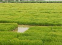 فروش زمین کشاورزی 4200 متر در کیاشهر در شیپور-عکس کوچک