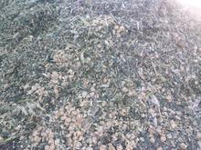علوفه  ذرت  پردان  در شیپور