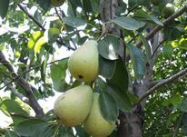 نهال درخت گلابی بیروتی (بارتلت) گلدانی در شیپور-عکس کوچک