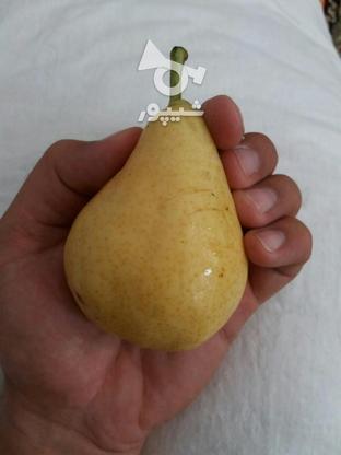 نهال درخت گلابی بیروتی (بارتلت) گلدانی در گروه خرید و فروش صنعتی، اداری و تجاری در مازندران در شیپور-عکس2