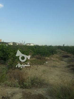 فروش باغ مرکبات 2000 متری در گروه خرید و فروش املاک در مازندران در شیپور-عکس2