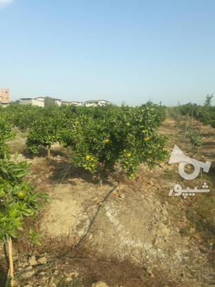 فروش باغ مرکبات 2000 متری در گروه خرید و فروش املاک در مازندران در شیپور-عکس3