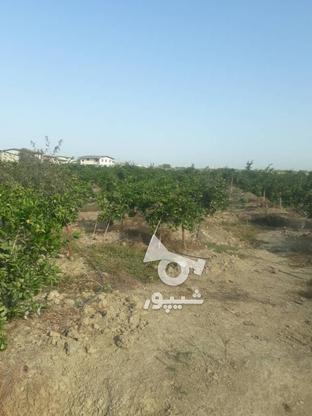 فروش باغ مرکبات 2000 متری در گروه خرید و فروش املاک در مازندران در شیپور-عکس4