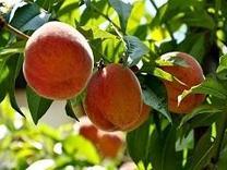 نهال درخت هلو هسته جدا پیوندی گلدانی در شیپور
