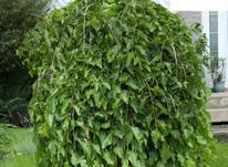 نهال درخت توت مجنون پیوندی (توت چتری)  در شیپور-عکس کوچک