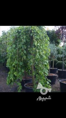نهال درخت توت مجنون پیوندی (توت چتری)  در گروه خرید و فروش صنعتی، اداری و تجاری در مازندران در شیپور-عکس2