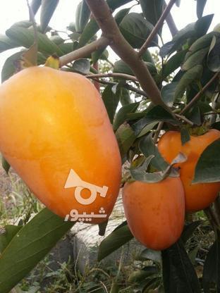 نهال درخت خرمالو موزی پیوندی  در گروه خرید و فروش لوازم خانگی در مازندران در شیپور-عکس4