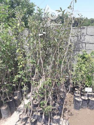 نهال درخت خرمالو موزی پیوندی  در گروه خرید و فروش لوازم خانگی در مازندران در شیپور-عکس5