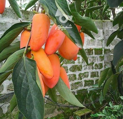 نهال درخت خرمالو موزی پیوندی  در گروه خرید و فروش لوازم خانگی در مازندران در شیپور-عکس1