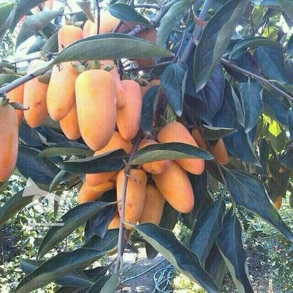 نهال درخت خرمالو موزی پیوندی  در گروه خرید و فروش لوازم خانگی در مازندران در شیپور-عکس3