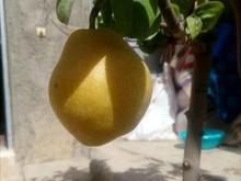 نهال درخت گلابی درگزی پیوندی گلدانی در شیپور