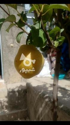 نهال درخت گلابی درگزی پیوندی گلدانی در گروه خرید و فروش صنعتی، اداری و تجاری در مازندران در شیپور-عکس1