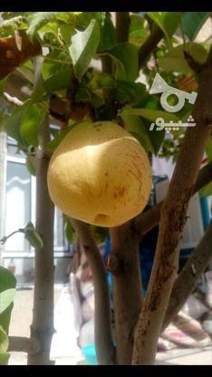 نهال درخت گلابی درگزی پیوندی گلدانی در گروه خرید و فروش صنعتی، اداری و تجاری در مازندران در شیپور-عکس3
