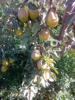 نهال درخت گلابی درگزی پیوندی گلدانی در گروه خرید و فروش صنعتی، اداری و تجاری در مازندران در شیپور-عکس4