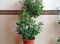 به زبان محلی گل گلین بایماق در شیپور-عکس کوچک