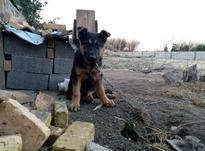 توله سگ ژرمن ماده  در شیپور-عکس کوچک