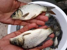 بچه ماهی کپور آمور فیتوفاگ بیگهد غذای ماهی اسپلش خاویار کوی در شیپور