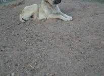 سگ نژادارگله ای درشت در شیپور-عکس کوچک
