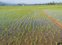 زمین کشاورزی 8000 متر شالیزاردر لاهیجان در شیپور-عکس کوچک