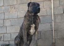 سگ خراسانی  در شیپور-عکس کوچک