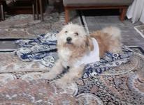 سگ تربیت شده در شیپور-عکس کوچک