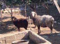 گوسفند ابستن وره مار  در شیپور-عکس کوچک