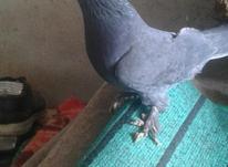 کبوتر پاپر نر در شیپور-عکس کوچک