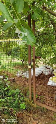 باغ 1711 متری پر محصول شهرودکلا در گروه خرید و فروش املاک در مازندران در شیپور-عکس6