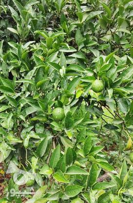 باغ 1711 متری پر محصول شهرودکلا در گروه خرید و فروش املاک در مازندران در شیپور-عکس8