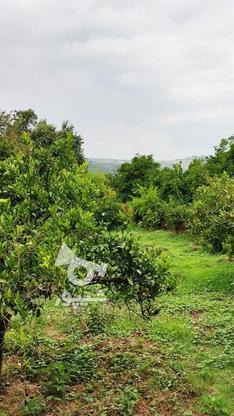 باغ 1711 متری پر محصول شهرودکلا در گروه خرید و فروش املاک در مازندران در شیپور-عکس9