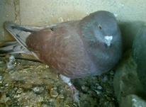 دوعدد کبوتر  در شیپور-عکس کوچک